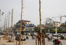 Newly-planted trees in Nguyen Chi Thanh cannot  grow in urban areas